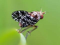Snail-Killing Flie (pen3.de) Tags: penf zuiko 60mmmakro natur naturlicht wildlife wiese fliege hornfliege flügel punkte beine haare fühler insekt grashalm bokeh roteaugen grün