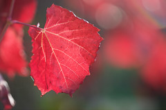 The Last Leaf... (setoboonhong ( On and Off )) Tags: nature outdoor bendigo botanical garden autumn leaf light veins red close up depth field bokeh song the last cascades 1962