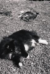 Mama Cat and Spanky 1, Corvallis 2017 (Sara J. Lynch) Tags: sara j lynch asahi pentax k1000 35mm film black white city corvallis parks recreation mama cat spanky cats kitty kitties