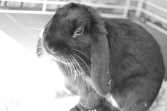 KERUBIM 1 (EL JOKER) Tags: rabbit lapin cony les allummers prod gimp nikon d7000 afs dx nikkor 35mm f18g noir et blanc black white 2017 linux potrait photo photographie photography png cc by nc nd creative commons animal pet ankama jeu game serie tv kerubim portrait