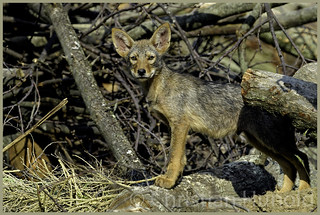 eastern coyote pup
