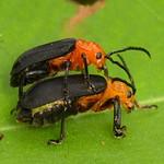 Leaf beetles mating, Coelomera cayennensis, Chrysomelidae thumbnail