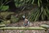 20170529-DSC_0127 (PChamaeleoMH) Tags: anatidae birds cotswoldswildlifepark ducks teals