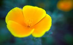 Floating [Explore] (Alexandre LAVIGNE) Tags: bonnette louisengival raynoxdcr250 ricohgr gr orange ambiance fleur lumière macro nature vert picardiehautsdefrance