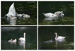 Zwanen ontbijt in de regen Explore 20170604 (Olga and Peter) Tags: zwanen swans ontbijt breakfast fp115046675 reagen rain