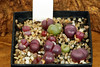 5 juin 2017 - Lithops optica 'Rubragold', 187 jours (Mafate79) Tags: 2017 s16077 lithopsopticarubragold aizoaceae aizoacées aizoacée mesemb mesembryanthemaceae mesembryanthemacées mesembryanthemacée plante semis
