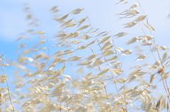 Lucy in the sky (dfromonteil) Tags: grass herbe ciel sky blue bleu wind vent nature plante plant bokeh macro clouds nuages graminés