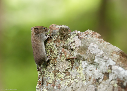 Rock Climbing Bank Vole
