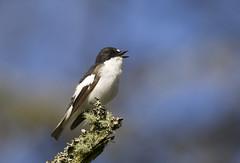 Pied Flycatcher (J J McHale) Tags: piedflycatcher ficedulahypoleuca nature scotland highlands wildlife flycatcher