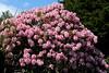 Maximum Rhodedendrum (Mïk) Tags: flowering bush rhododendron rhodies pink red flora flowers
