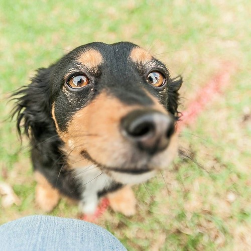 """""""Romeo is a three-year-old Dachshund X Fox Terrier. He was a dog from y fiance's family. They asked us to take care of him and became ours. He has a very soft, gentle nature and very relaxed. He doesn't get out of bed unless going to the toilet. He'll com"""