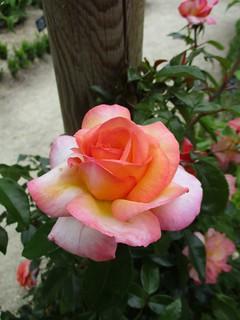 ❀ Orange pink yellow rose ❀