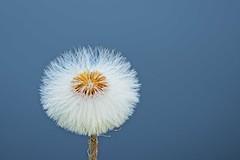 dandelion (kristof lauwers) Tags: flowers flower dandelion blue sky single minimal minimalism white overblown