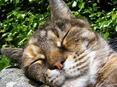 Sleeping Beauty..Erica.xxx (carlene byland) Tags: beautifulcat tabby love stoneseat garden kettering england weather warm windy ivy asleep pinknose whiskers ears iloveher