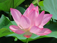 lotus in the wind (oneroadlucky) Tags: nature plant flower pink green lotus waterlily