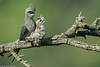 Crested treeswift #176 (Ramakrishnan R - my experiments with light) Tags: 14tciii 14tc 2017 500mmf4 7d2 april avian birding canon crestedtreeswift forest hemiprocnecoronata incredibleindia lifer nationalgeographic nilgiris prime aves aviafauna birdphotography birdwatching birder birds birdwatcher india kotagiri lifelist myexperimentswithlight natural nature photography ramkrishr ramsfotobites twitcher water waterbody wild wildbirds wildlife ramakrishnanrajamani