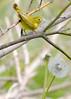 _53F6832 Yellow Warbler (~ Michaela Sagatova ~) Tags: birdphotography canonphotography michaelasagatova yellowwarbler