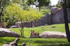 sabana (Habashira) Tags: bioparc animals animales zoo zoovalencia sabana leona león