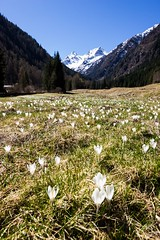 Spring Flowers (Andrea Moraschetti Photography) Tags: ngc spring flowers white crocus top summit peak mount mountains landscape view valley riserva naturale santantonio brescia lombardia primavera sunny sky colors