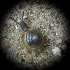 After the terrible rain ended, Lester decided to make his way across the vast wasteland, on a quest for dry pastures. Gladys knew she would miss him very, very much.  #snail #fibonnacispiral #mollusk #animals #naturephotography #naturelover #nature (lmmauney) Tags: animals mollusk naturelover naturephotography nature fibonnacispiral snail