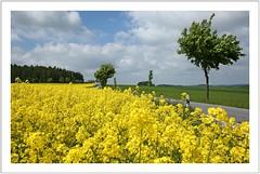 gelbe Wochen im Osterzgebirge (Norbert Kaiser) Tags: osterzgebirge erzgebirge feldkirch baum raps rapsblüte rapeseed landwirtschaft agriculture