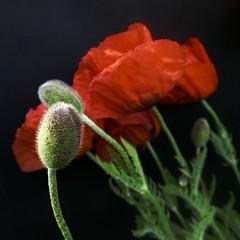 pavot d'orient (peltier patrick) Tags: fleur flower fleurs flowers feuille feuilles fondnoir fleursrouges macro jardin garden mohn pavot papaver papaveri pavots