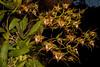 Odontoglossum cordatum (Orchidee) (betadecay2000) Tags: beta odontoglossum cordatum orchidee orchid pflanze plant blume blüte flower bloom fleur epiphyt epiphytisch nebelwälder regenwald nebelwald südamerika mittelamerika outdoor makro cypripedium erdorchidee orchideen terristische terristisch blüten ladies slipper orchieen botanisch orkidea orhidee орхидеи orchidée 蘭花 রাস্না խոլորձ 난초 orchidej خصي orkideo orhideja सुनगाभा オーキッド กล้วยไม้ סחלב orquídea anggrek orchidea ορχιδέα orkide אָרכידייע орхидея आर्किड