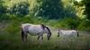 DSC_3345 (gitte123) Tags: horses nature konikpaarden spring