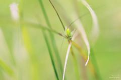 Sauterelle juvénile (Mariie76) Tags: animaux insecte verdure tettigoniidae nature herbe coteaux calcaires macro macrophotographie sauterelle drôle grosyeux mignon longuesantennes