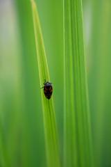 Cercope sanguin (Pauline Moinereau) Tags: cercopesanguin cercopidae cercopis cercopisvulnerata froghopper hemiptera hémiptère insect insecte blackandredfroghopper truebugs