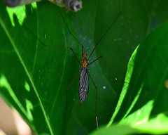 stretched out in the shade... (all one thing (back and catching up)) Tags: cranefly fly hfdf flydayfriday shade stretchedoutintheshade relax green insect nature friday