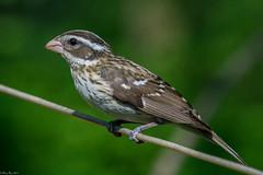 Always alert (Explored) (Fred Roe) Tags: lca71d8298 nikond7100 nikkorafs80400mmf4556ged nikonafsteleconvertertc14eii nature wildlife birds birding birdwatching birdwatcher rosebreastedgrosbeak pheucticusludovicianus peacevalleypark