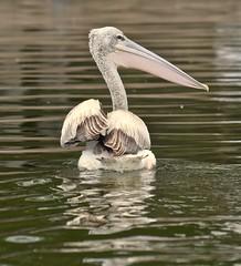 Proud Pelican (The Spirit of the World) Tags: bird fowl pelican beak wildlife nature lake water reflection waterreflection safari kenya eastafrica africa portrait