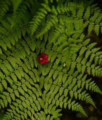 Fern and tiny flower. (Irene Drusiani) Tags: fern felce rose greenplant green plant nature natura fiore flower tiny piccolofiore fiorellino grass trees contrast photoshop picture like vancouver canada clevelanddam clevelandtrails britishcolumbia bc hiking hike trails trai mountains hot spring may