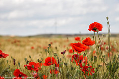 Gioco di rosso e giallo – Game of red and yellow (albygent Alberto Gentile) Tags: poppies spring canoneos6d flowers