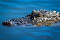 I'm Watching You! (K.Yemenjian Photography) Tags: telephotolens alligator crocodile animal animalplanet natural beautyofnature nature watching water waiting hungry canont5i canon southcarolina
