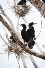 Tommy Thompson Park (mtnbiker404) Tags: doublecrested cormorant tommy thompson park leslie spit