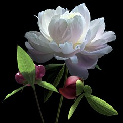 Peony Trio (Pixel Fusion) Tags: peony flower flora nature macro nikon d600