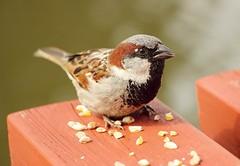 House Sparrow (Bogger3.) Tags: housesparrow havinglunch macro birdseed woodentable sunnyday canon600d canon18x135lens handheld coth5 sunrays5