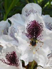 Rolling Around in the Pollen - Explored! (jchants) Tags: 117in2017 25itstingsorbites bee rhododendron