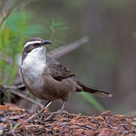 White-browed Babbler Hallowell 26May17 (6) res thumbnail