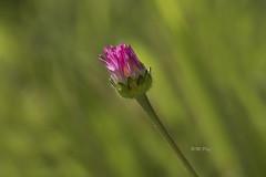 Daisy (Henry der Mops) Tags: 90a1198 daisy gänseblümchen bellisperennis natur blumen flowers wiese meadow gras mplez henrydermops canoneos7dmarkii sigma105mmf28exmakrodgoshsm