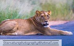 _DJA3648 copy (naturephotographywildlife) Tags: kruger wildlife scenery animals birdlife a99ii africa park lioness
