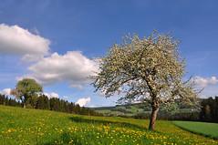 Ein herrlicher  Frühlingstag (Mariandl48) Tags: frühlingstag blühenderapfelbaum landschaft wiese wald stjakobimwalde sommersgut wenigzell steiermark austria