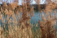 Around the lake (P350D) Tags: lyon france francia 69 parc têtedor rhônealpes rhône roseaux nature water lake 20d eos20d p350d 2017 hollidays