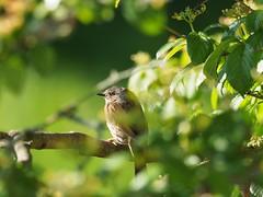 Heckenbraunelle (Edi, der Lemming) Tags: heckenbraunelle