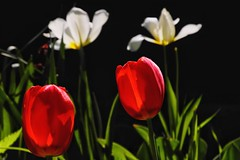 Pairs (Madison Guy) Tags: flowers tulips backlighting