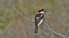 Woodchat Shrike      (Lanius senator) (nick.linda) Tags: woodchatshrike laniussenator shrikes spain wildandfree canon7dmkii sigma150600c