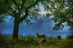 Pastorale (tarnpulli) Tags: flock sheeps säugetiere tiere herde schafe canon eos70d