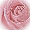 Rose (Foulridge_Photography) Tags: rose pink macro droplets flower nikon d5000 sigma